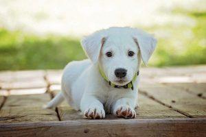 רצועות לכלבים